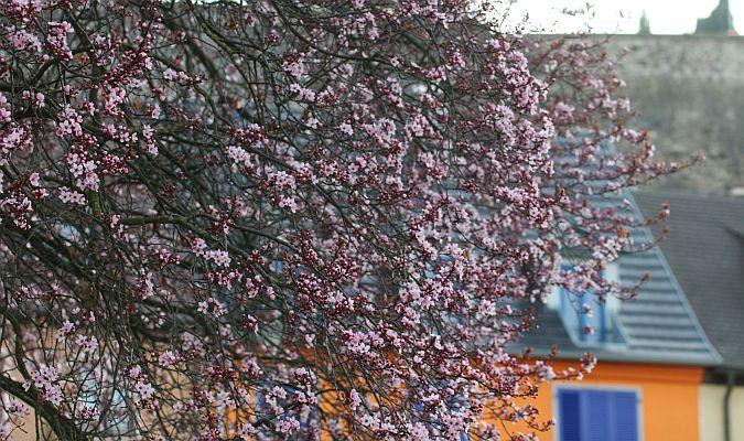 Kirschblüte im Kaiserstuhl - © E. Kopp/pixelio.de